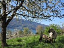 羊羔护理 库存图片