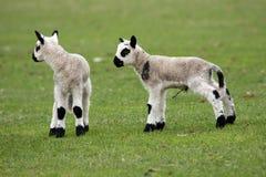 羊羔新出生的孪生 免版税库存照片