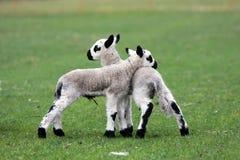 羊羔新出生的孪生 库存图片
