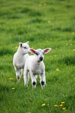 羊羔春天 免版税库存照片