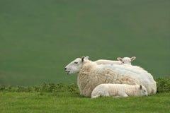 羊羔母亲绵羊孪生 免版税库存照片