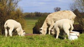 羊羔照顾二个年轻人 免版税库存图片