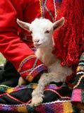 羊羔秘鲁人 库存图片