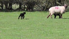 羊羔绵羊黑色羊羔赛跑 股票录像