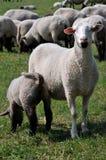羊羔绵羊 库存照片