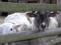 羊羔绵羊 图库摄影