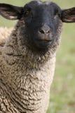 羊羔绵羊 免版税库存照片