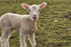 羊羔联系 免版税库存图片