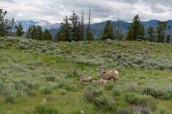 羊羔跑与母亲大角野绵羊 免版税库存图片