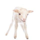 羊羔身分 免版税库存图片