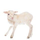 羊羔身分 库存图片