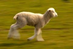 羊羔运行中 库存图片