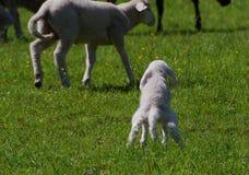 羊羔需要小便 免版税库存图片