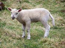 羊羔,一只羊羔在一个草甸在夏天 库存照片