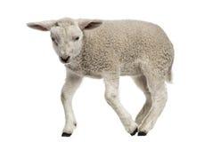 羊羔(8个星期年纪) 库存图片