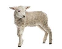 羊羔(8个星期年纪) 图库摄影
