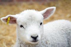 羊羔年轻人 库存图片