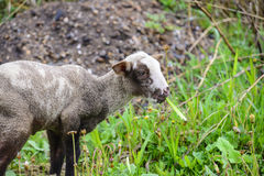 羊羔 库存图片