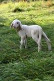 仅羊羔 图库摄影