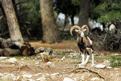 羊羔Muflon 免版税图库摄影