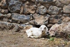 羊羔Saiq高原 图库摄影