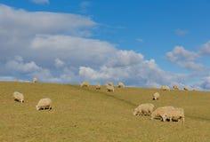 绵羊群在一个领域的在春天 库存照片
