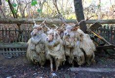 绵羊群在低灯农村场面的 库存照片