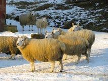 绵羊群在农场的 免版税库存图片