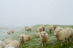绵羊群在北海的在雪风暴支持 胡苏姆,德国 库存图片
