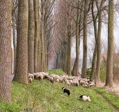 绵羊群在富兰德 库存图片