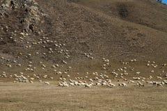 绵羊群在小山的 免版税库存照片