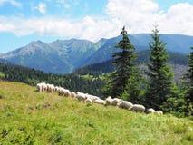 绵羊群在山的:Tatry 库存图片