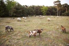 绵羊群在森林区域在宰斯特附近 库存照片