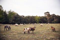 绵羊群在森林区域在宰斯特附近 免版税库存照片