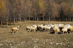 绵羊群在森林里 免版税库存图片