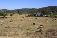 绵羊群在牧场地 免版税库存图片