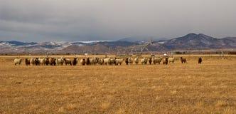 绵羊群在蒙大拿的山的一个牧场地 库存图片