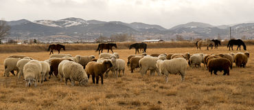绵羊群在蒙大拿的山的一个牧场地 库存照片