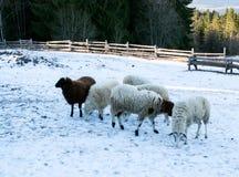 绵羊群在雪的在农场 免版税库存图片