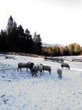 绵羊群在雪的在农场 库存照片