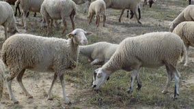 绵羊群在Alhaurin de la Torre安大路西亚西班牙的 免版税库存图片
