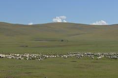 绵羊群在Hulun Buir草原的 库存图片