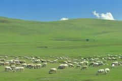 绵羊群在Hulun Buir草原的 图库摄影