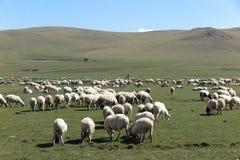 绵羊群在Hulun Buir草原的 免版税图库摄影