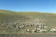绵羊群在Hulun Buir草原的 免版税库存照片