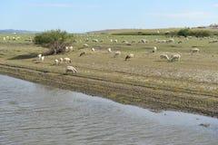 绵羊群由Mergel河沿的在Hulun Buir草原 免版税库存照片