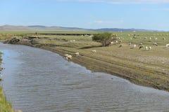 绵羊群由Mergel河沿的在Hulun Buir草原 免版税图库摄影