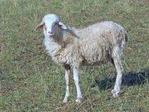 绵羊群的幼小羊羔在草甸的 免版税库存照片