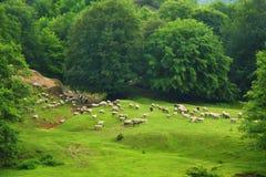 绵羊群  免版税库存图片