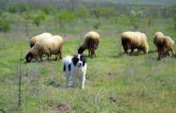 绵羊聚集吃草在春天牧场地和狗 免版税库存照片